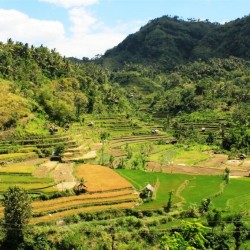 Si vedono i vari stadi del riso