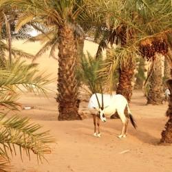 Un'orice d'Arabia