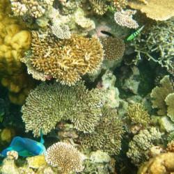 I pesci mangiano i coralli