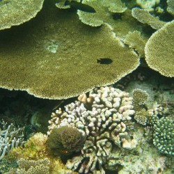 I coralli