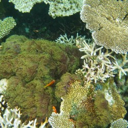 Anemone tra i coralli