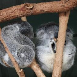 Koala che dormono