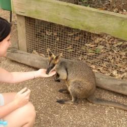 Un piccolo canguro