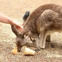 Un canguro più grande