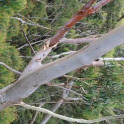 Un albero di eucalipto
