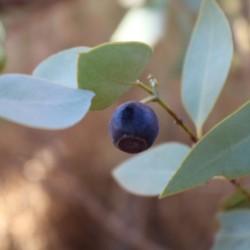 Bush plum