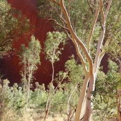 Red gum (eucalipto)