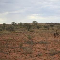 Cammelli selvatici