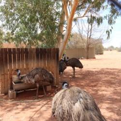 Emu Farm a Erldunda