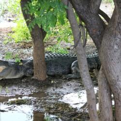 Un altro coccodrillo
